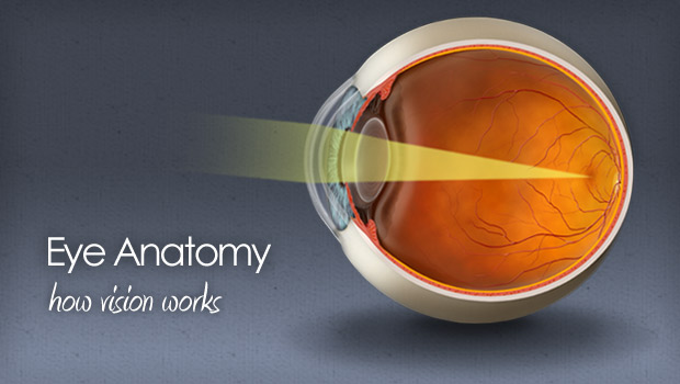 Eye anatomy and physiology - how the eye and vision work